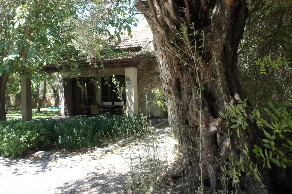 Mandalina Tarlaları İle Çevrili Bağ Evi, Bitez